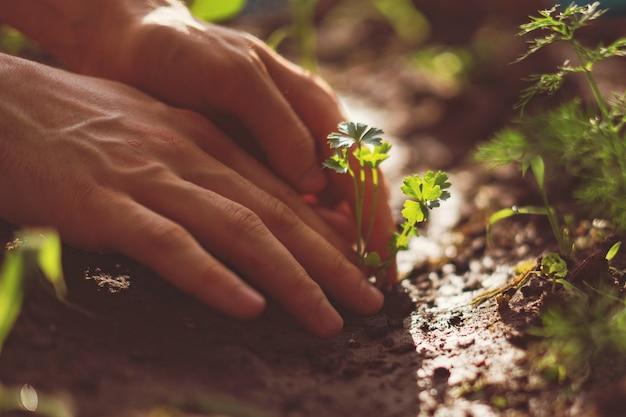 As mãos do agricultor cuidam e protegem as mudinhas de broto no solo