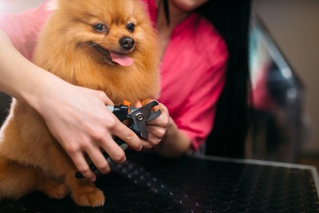 As mãos do groomer do animal de estimação cortam com as garras do tosquiador de um cachorro, cachorrinho lavando no salão de tosa. noivo e penteado profissional para animais domésticos