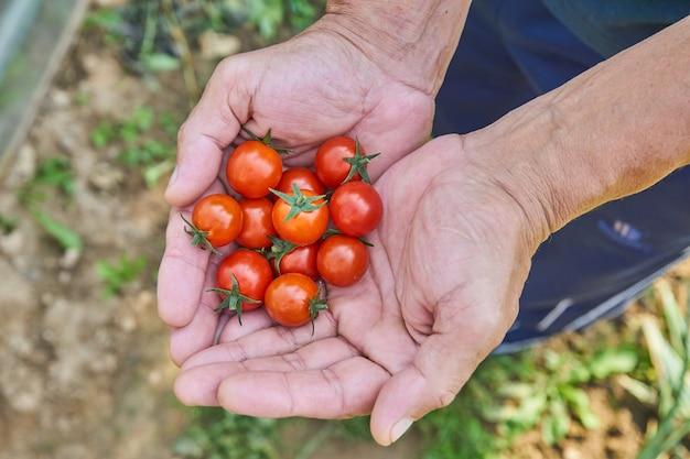 As mãos do homem que colhem tomates frescos no jardim em um dia ensolarado. agricultor escolher tomates orgânicos. conceito de cultivo de vegetais.