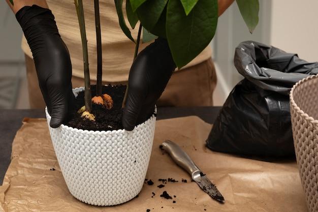 As mãos do homem transplantam a planta para uma panela nova.