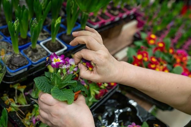 As mãos do jardineiro removem folhas secas de primula denticulata em uma floricultura ou estufa. uma mulher segurando uma primula dá à planta uma aparência comercial. foco seletivo
