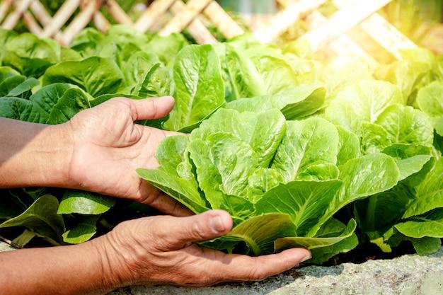 As mãos dos agricultores seguram vegetais orgânicos de salada verde na trama.
