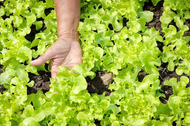 As mãos dos fazendeiros fazem agricultura pegar verduras orgânicas no terreno