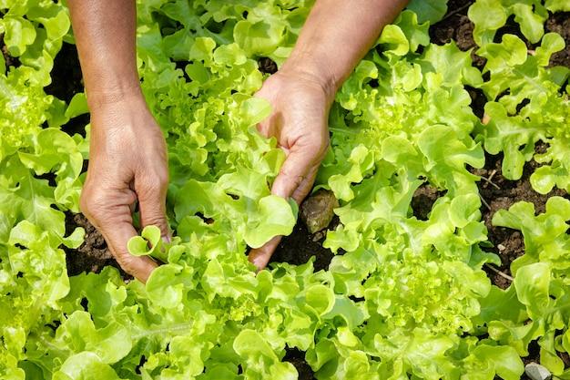 As mãos dos idosos fazem a agricultura apanhe verduras orgânicas no terreno. conceito de alimentação saudável, alimentos orgânicos cultive vegetais para comer em casa. copie o espaço