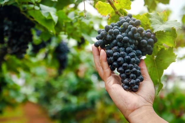 As mãos dos jardineiros pegam o cacho de uvas pretas para verificar a qualidade.