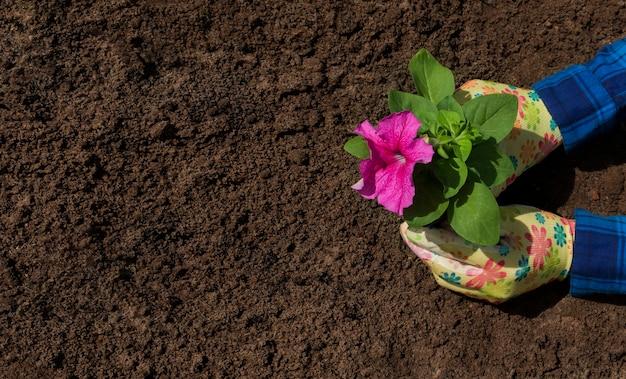 As mãos femininas de um jardineiro em luvas plantam flores no chão. lugar para texto. vista de cima.