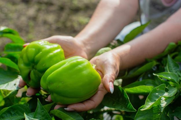 As mãos femininas dos fazendeiros seguram dois pimentões verdes no jardim. conceito de colheita de alimentos saudáveis