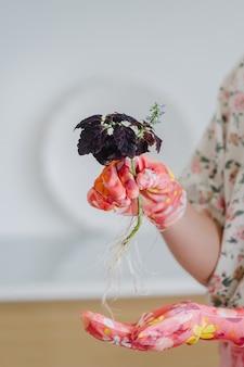 As mãos femininas em luvas cor de rosa transplantam flores caseiras com raízes.