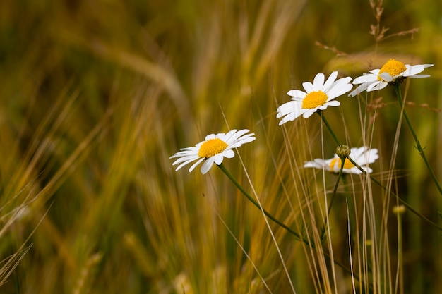 As margaridas brancas selvagens crescendo em um campo. pequena profundidade de nitidez