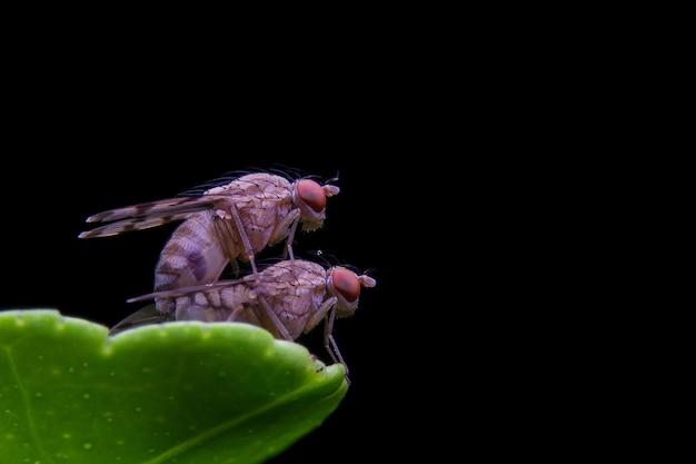 As moscas estão se reproduzindo