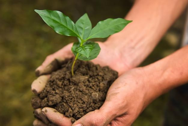 As mudas do café arábica. que está preparado para plantar