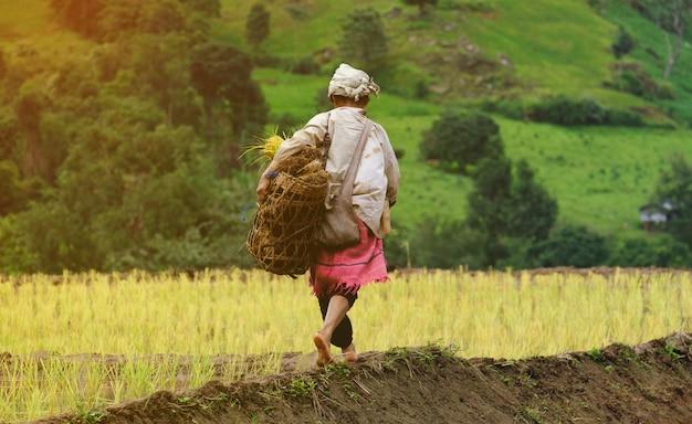 As mulheres estão carregando as mudas, andando no campo de arroz