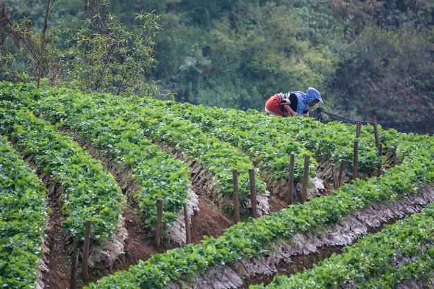 As mulheres fazendo pulverização de pesticidas na fazenda de morango, real estação agrícola angkhan