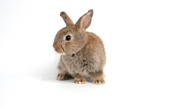 As orelhas eretas do coelho marrom vermelho bonito peludo e macio estão sentando o olhar na câmera, isolada no fundo branco.