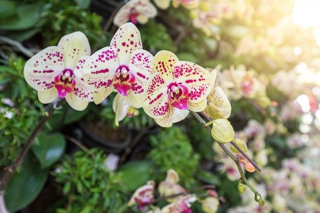 As orquídeas tailandesas têm pontas de flores altamente decorativas. orquídeas do cymbidium no jardim tropical.