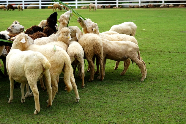 As ovelhas estão comendo grama no prado verde