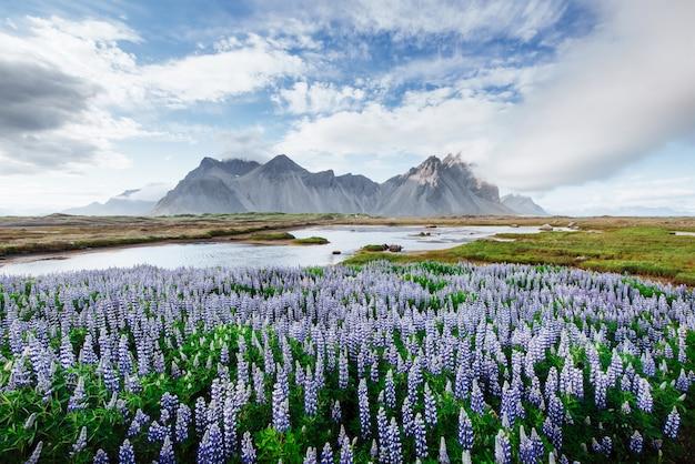 As paisagens pitorescas de florestas e montanhas da islândia. tremoço azul selvagem que floresce no verão