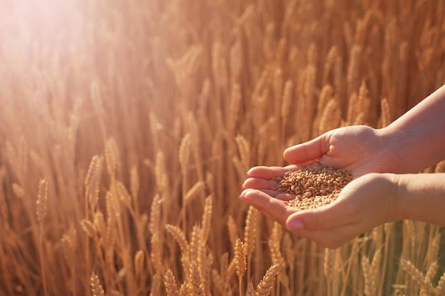 As palmas das mulheres seguram as sementes de trigo no contexto das espigas de trigo amarelas