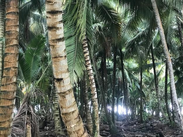 As palmeiras crescem lado a lado nas selvas