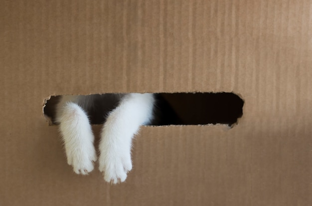 As patas do gato branco estão espreitando para fora do buraco na caixa de papelão. espaço da cópia