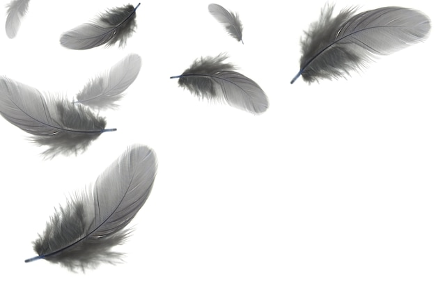As penas cinzentas flutuam no ar, isolado no fundo branco.
