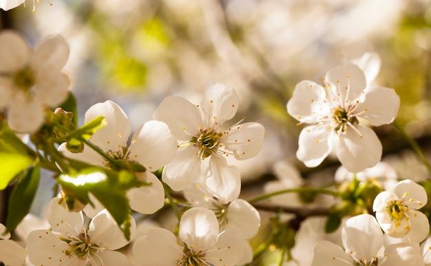 As pequenas flores de uma macieira fotografadas de perto. pequena profundidade de nitidez