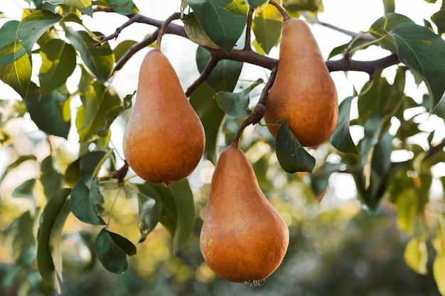 As peras braun penduradas no galho do pomar. produtos de frutas da fazenda ecológica. colheita de outono