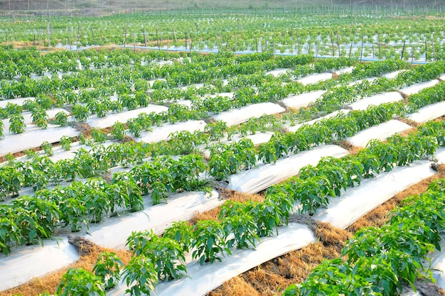 As pimentas de pimentão jardinam, sulco vegetal, exploração agrícola da agricultura.