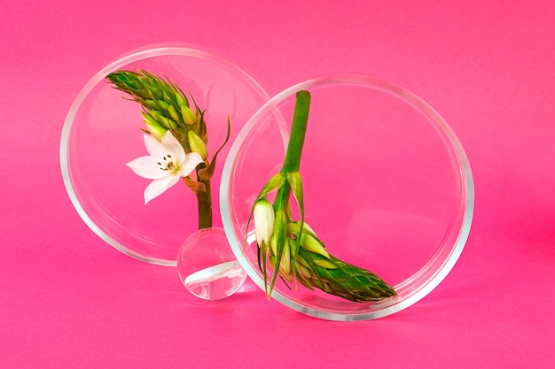 As placas de petri ficam sobre o fundo rosa com um ramo de flor dentro