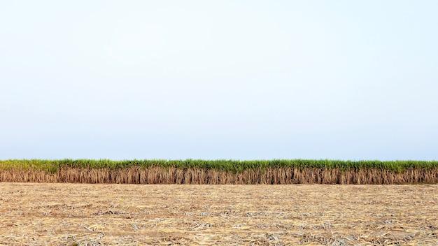 As plantas de cana-de-açúcar estão lindamente dispostas em grandes parcelas e algumas são colhidas.