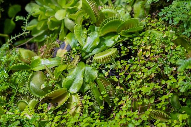 As plantas são predadoras. jardim botânico de plantas coletor de insetos. flores raras incomuns
