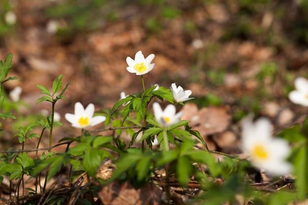 As primeiras flores brancas da floresta na primavera