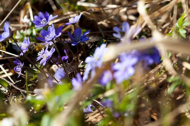As primeiras flores crescendo em florestas e parques na primavera e no verão