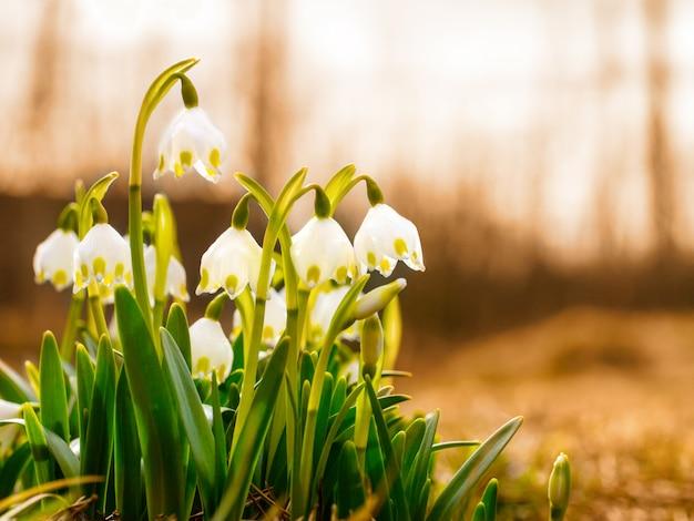 As primeiras flores da primavera, snowdrops, um símbolo da natureza despertar