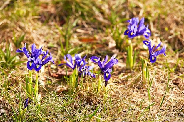 As primeiras flores de açafrão da primavera desabrocham no jardim. flores de pulsatilla roxa fecham a flor. snowdrops ou dream grass aparecem após o derretimento da neve na bielo-rússia