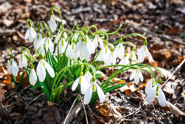 As primeiras flores de floco de neve da primavera na floresta em um dia ensolarado