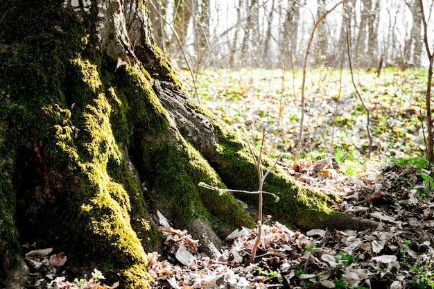 As raízes da velha árvore coberta de musgo na floresta de primavera