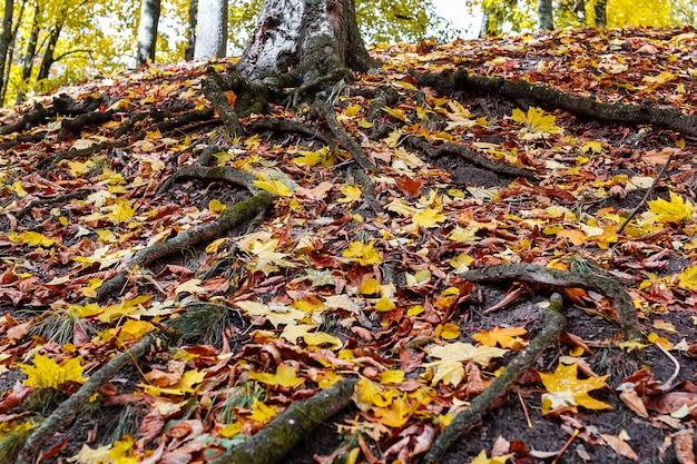 As raizes de uma árvore em uma floresta no outono.