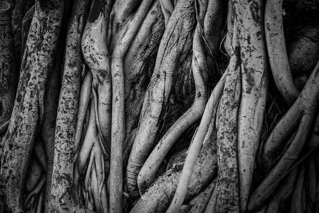 As raízes e caules da figueira estão densamente compactados, parecendo desordenados como a superfície da madeira, fotografando em preto e branco.
