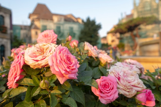 As rosas cor-de-rosa da fada estão no jardim.