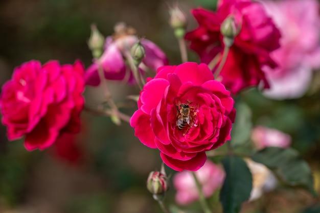 As rosas vermelhas estão no jardim do parque contra o fundo verde
