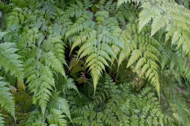 As samambaias que crescem naturalmente na floresta tropical