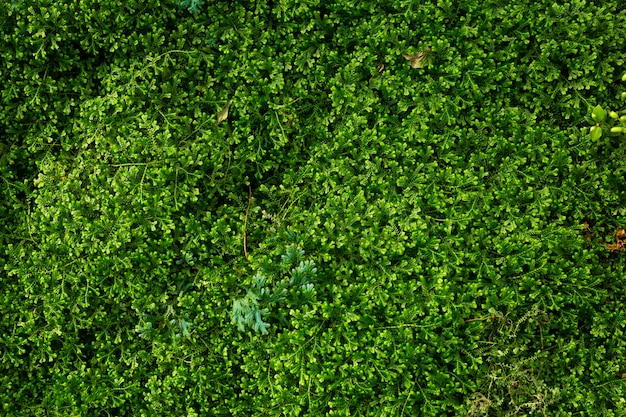 As samambaias verdes do selaginella de samambaias do fundo do musgo do ponto crescem na floresta úmida.
