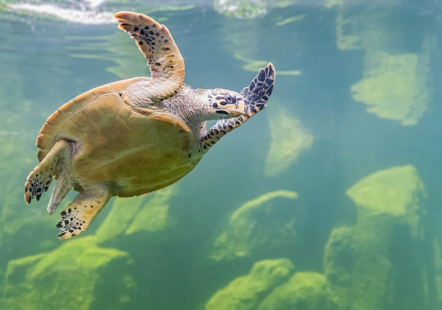 As tartarugas marinhas em um aquário estão nadando