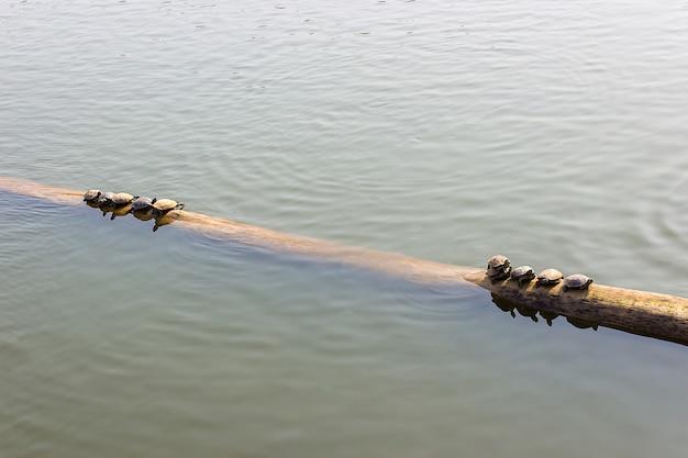 As tartarugas nas toras na água.