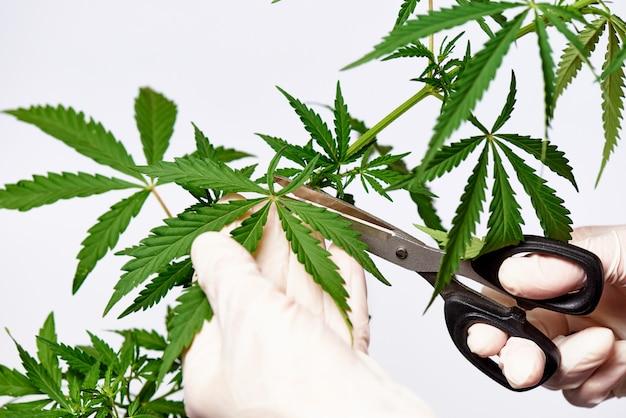 As tesouras nas mãos nas luvas cortam as folhas do cannabis em um espaço em branco.