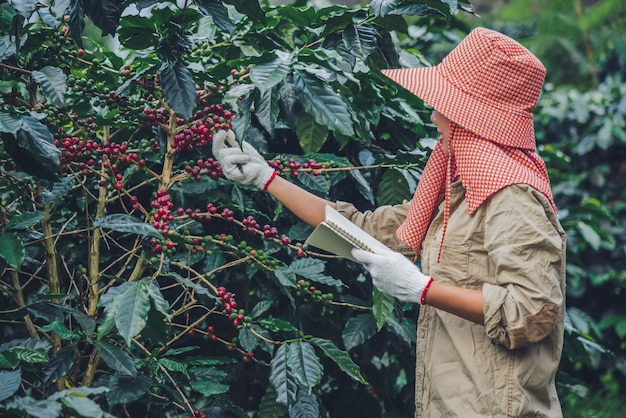 As trabalhadoras estão escrevendo um registro do crescimento das árvores de café. agricultura, horta.