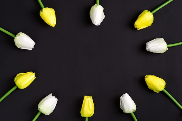 As tulipas brancas e amarelas frescas florescem em um fundo preto. vista do topo.