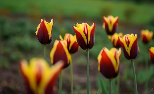 As tulipas vermelhas e amarelas na mola jardinam, close-up, foco macio, fundo borrado. botões de flores, vista lateral.