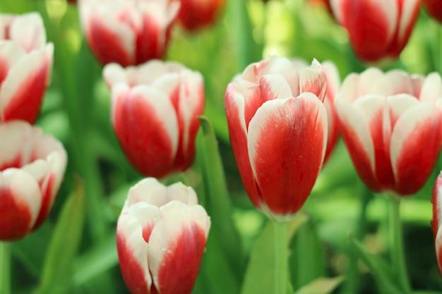 As tulipas vermelhas e brancas florescem com a folha verde no campo da tulipa.